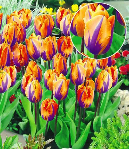 Тюльпаны сорта фото Коллекция изображений