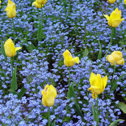 Тюльпаны с незабудками