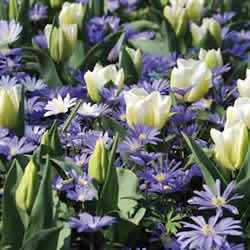 Тюльпаны с анемонами