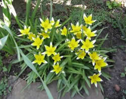 Тюльпаны ботанический